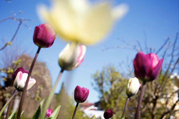 I rabatten förra våren. Snart får vi se dem igen!