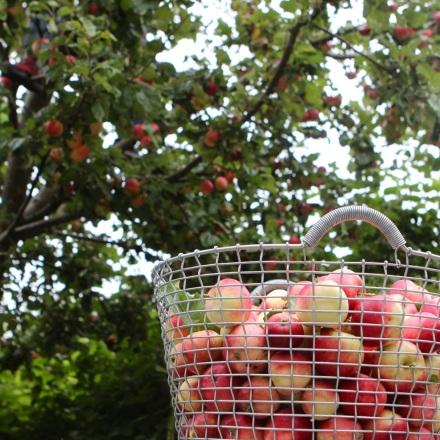 I september brukar det finnas goda äpplen på trädet. Varsågod och plocka!