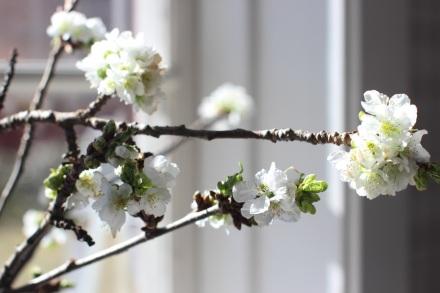 Årets första körsbärsblom har just spruckit åt på grenen i köksfönstret.